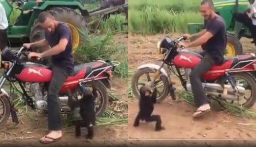 【癒し動画】どうしてもバイクに乗りたい猿をバイクから下ろしたときの反応がww【完全に人間】