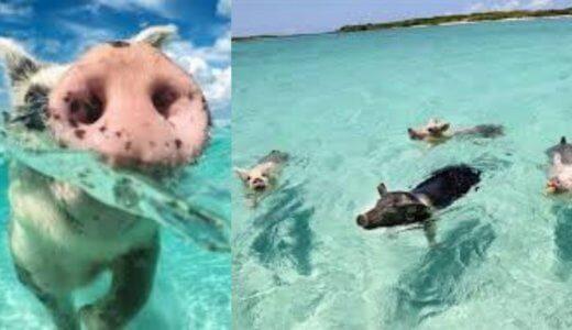 【ほっこり】鼻を出して頑張って泳ぐブタさんの姿が可愛すぎたwww