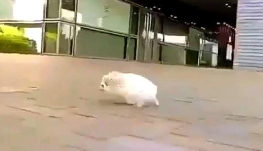 【癒し動画】どこ行くのぉ!?街中を全力疾走するハリネズミが可愛すぎたwww